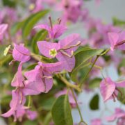 Bougainvillea Pale Pink Flower Plant - Buy Online - Hyderabad