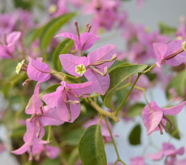 Bougainvillea Pale Pink Annual Flower Plant