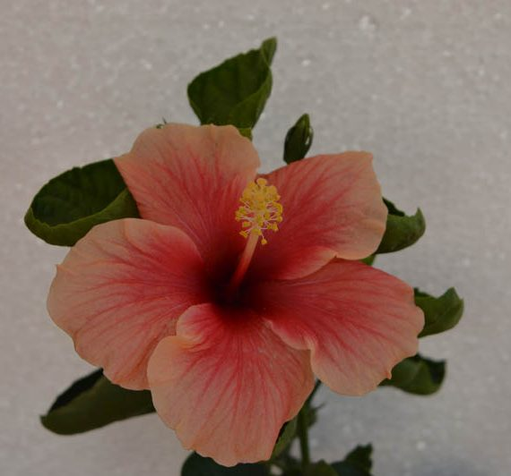 Pink Hibiscus Baby Flower Plant - Buy Online - Hyderabad