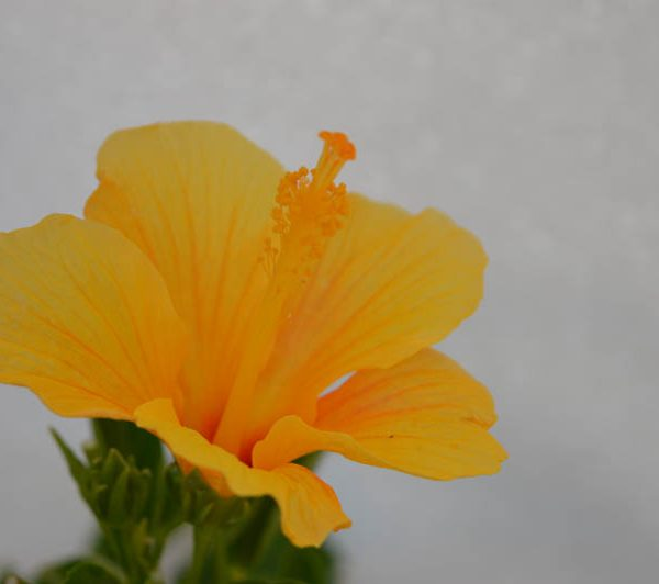 Hibiscus Baby Yellow 1