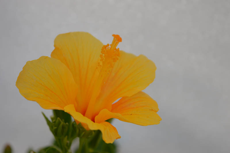 Hibiscus Baby Yellow with flower shooting from the branch of the annual flower plant available for sale in Hyderabad