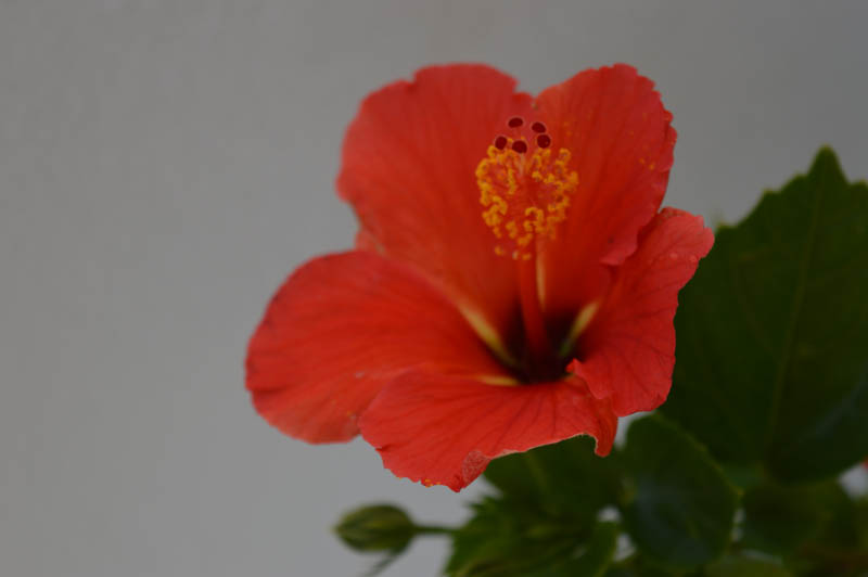 Hibiscus Red flower plant with its flower blossoming from the flower plant in all attractive and beauty - the Hibiscus Red flower plant available for sale in Hyderabad