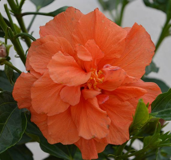 Orange Hibiscus Flower Plant For Sale Online | Hyderabad