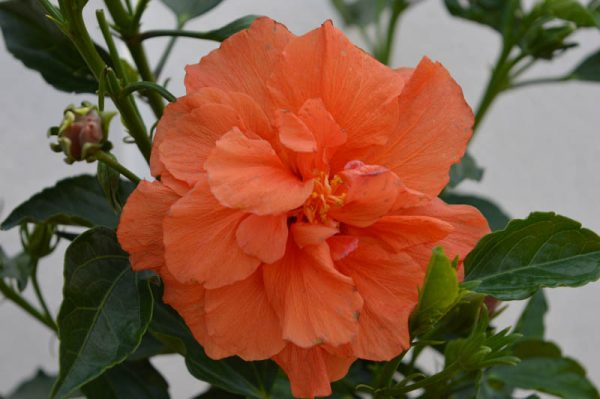 Orange Hibiscus Flower Plant