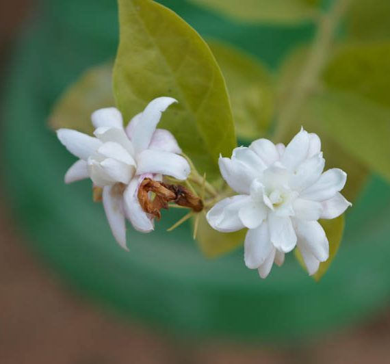 Jasmine fragrant plant buy online in Hyderabad at best price