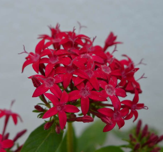 Pentas Red flower plant sprouting its star-shaped flowers in all beauty - red pentas flower plant is available for sale online in Hyderabad