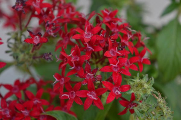 Pentas Butterfly (Red)