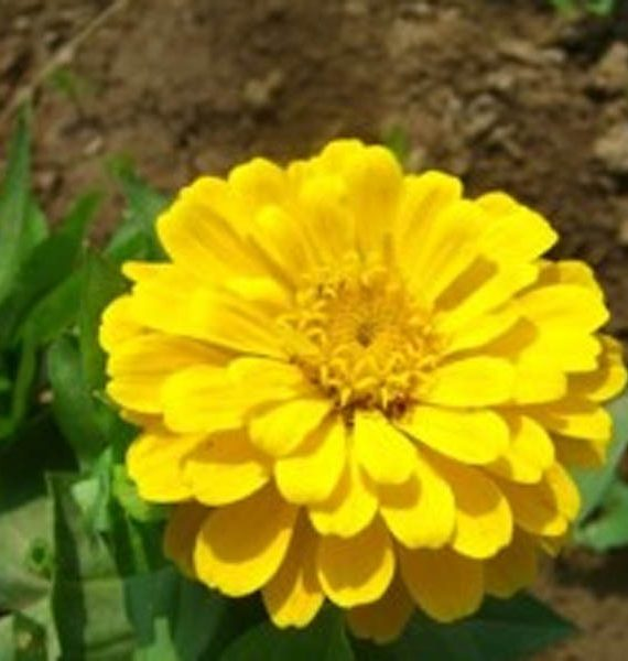 Yellow Zinnia flower plant with big color size and yellow petals look blossomed with lime yellow color at heart of the color, a product photograph