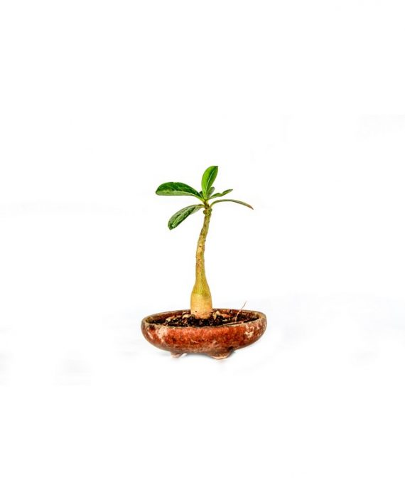 Adenium Bonsai Small Plant In growing stage with small leaves sprouting from the branch available for sale online in Hyderabad