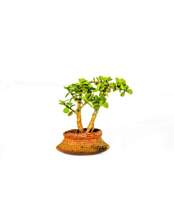 Miniature jade bonsai plant in round shaped pot with thick leaves branching out from the bonsai plant