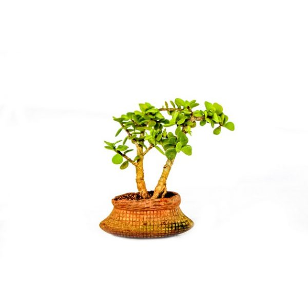 Miniature Jade Bonsai (Succulent)