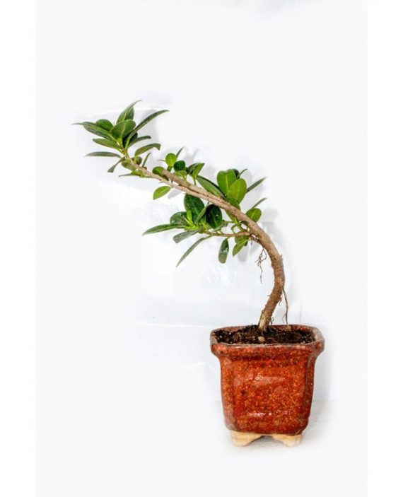 Ficus Blue Island Plant That Being Nurtured In Ceramic Squared Pot