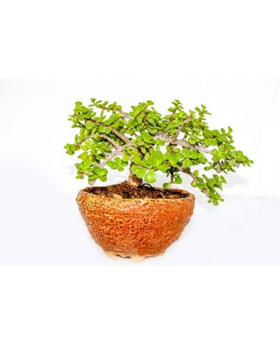 Dwarf Jade Bonsai Indoor Plant grown and nurtured in ceramic circle pot with plant and thick green leaves sprouting from the bonsai plant