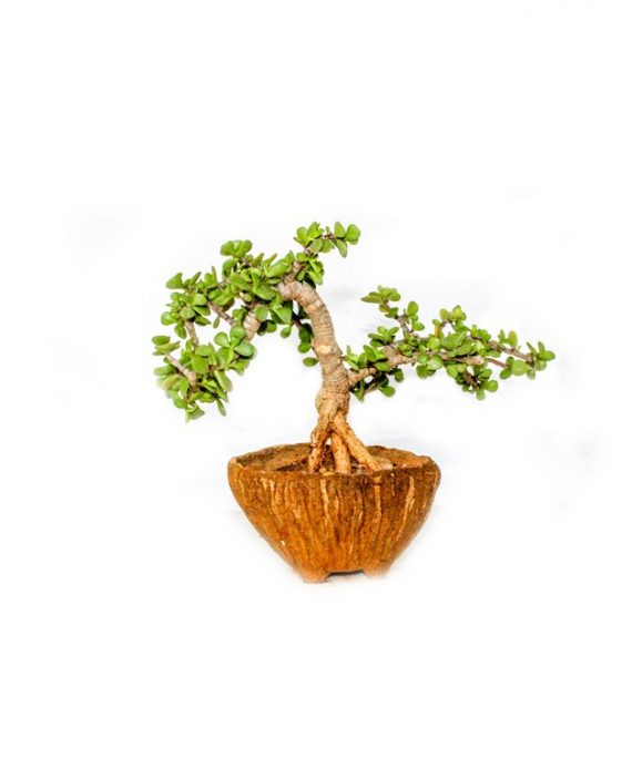 Miniature Jade Bonsai plant planted in ceramic circle pot with small thick leaves growing from the plant
