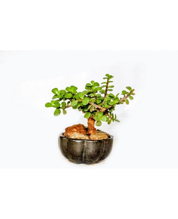 Dwarf Jade Bonsai in plastic ceramic pot with small stems and thick leaves with beauty and pleasantness