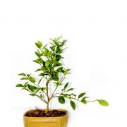 Bonsai lemon plant in squared shaped ceramic pot with elongated leaves branching from strong stem of healthy lemon bonsai plant