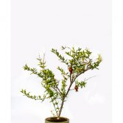 Pomegranate Bonsai Plant in squared shaped ceramic pot with large and thick stems bearing Pomegranate fruit is best for Indoor planting in homes and offices