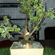 jade_Bonsai_3-4 years