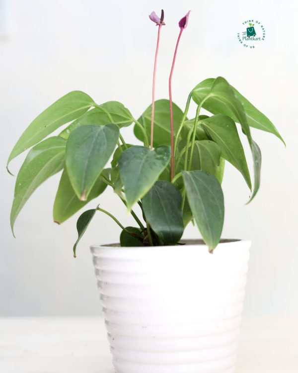 Anthurium purple in white ceramic