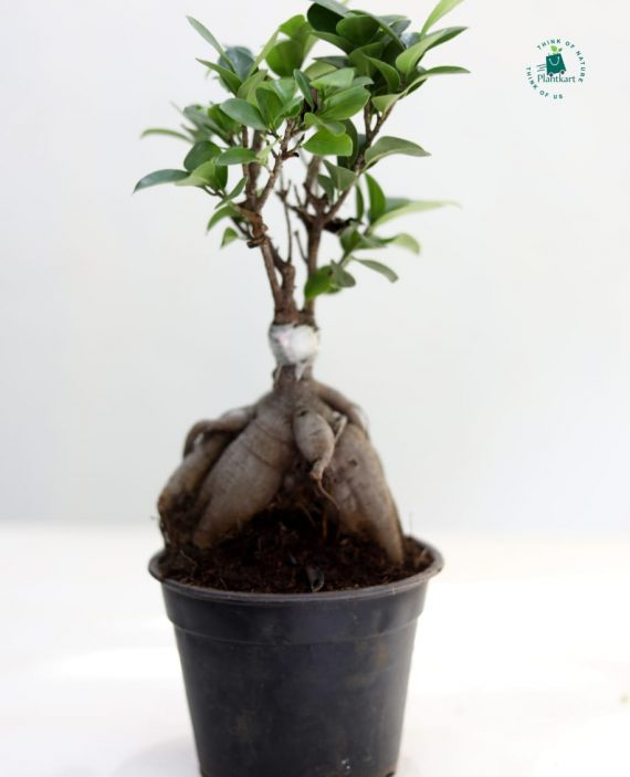 Ficus Blue Bonsai Plant