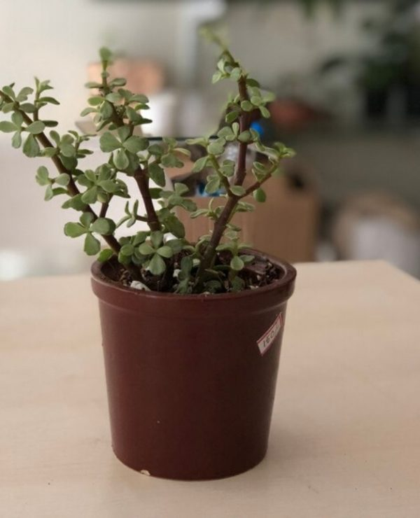 Jade_Plant_Ceramic_Pot