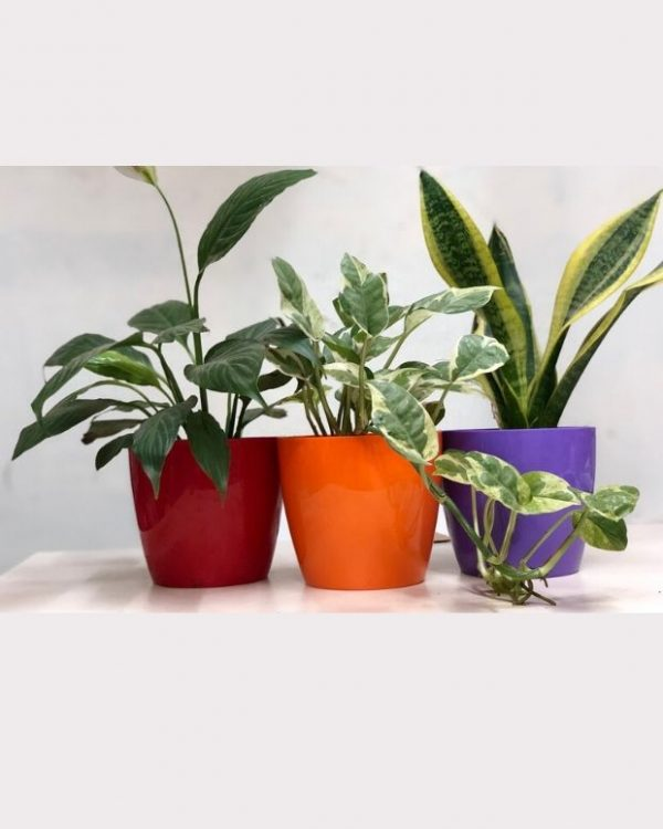 Set_Of_Oxy_Rich_Plants_in_ColorFul_pots