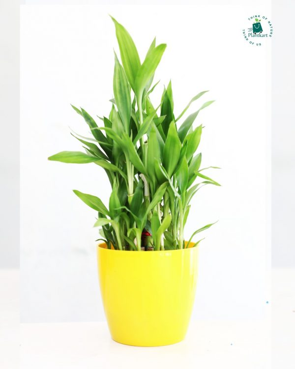 3_Layer_Lucky_Bamboo_Colorful_planter