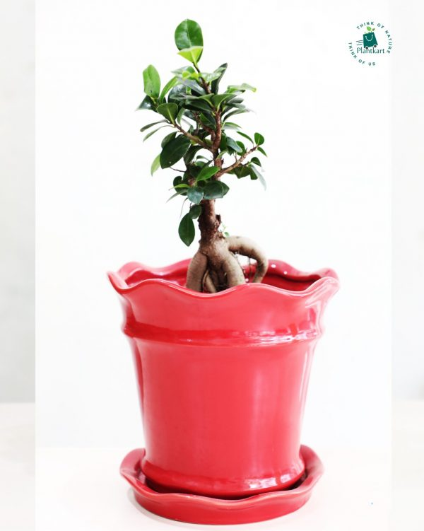 Ficus_Bonsai_Red_ceramic_Planter
